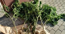 Bielsk Podlaski: Policjanci zabezpieczyli narkotyki o wartości blisko 5 tysięcy złotych