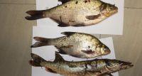 Mężczyźni podejrzani o kłusownictwo rybne zatrzymani