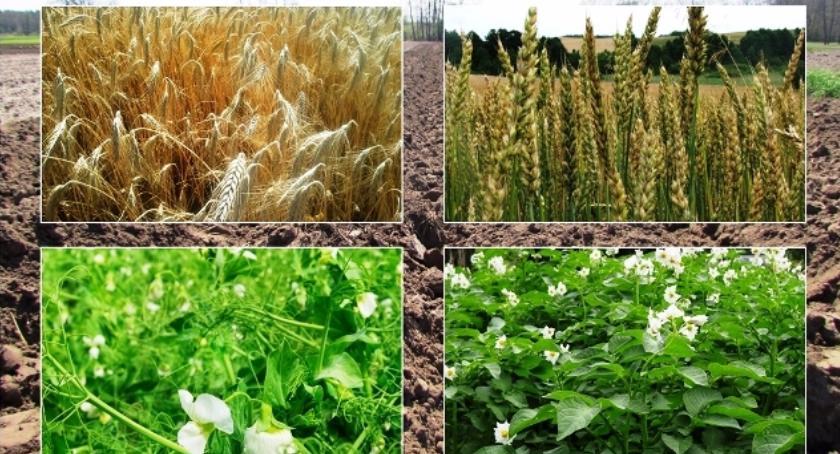 Rolnictwo, Wyższe stawki dopłat materiału siewnego - zdjęcie, fotografia