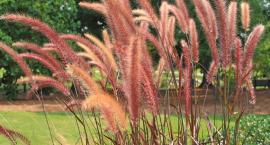 Trawy ozdobne