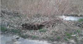 Bobry podkopują drogę
