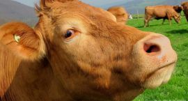 Staruszka nie chciała pozbyć się krów
