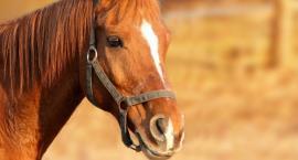 Wystawa koni w Skaryszewie