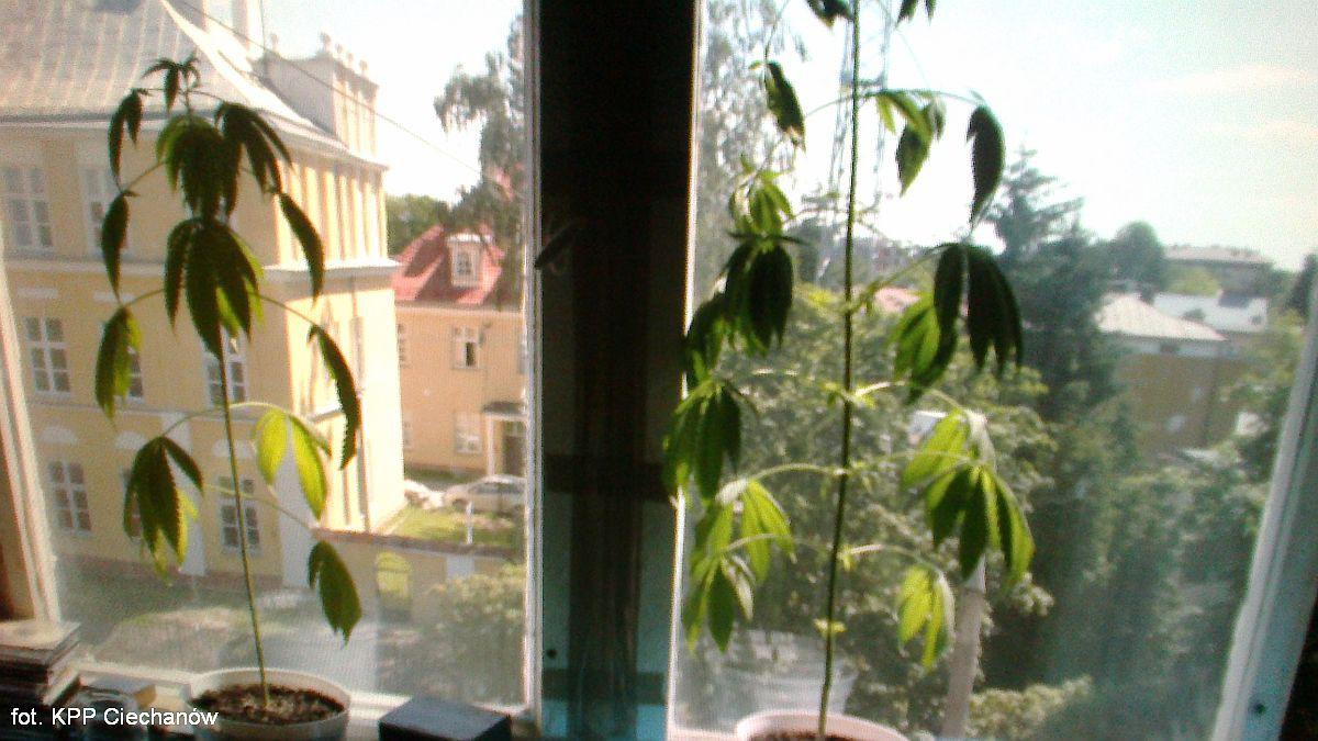 Sprawy kryminale , oknem komenda oknie konopie - zdjęcie, fotografia