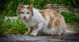 Miasto sfinansuje kastrację kotów