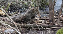 Uratowali wilczycę. Wpadła w pułapkę kłusowników [zdjęcia]