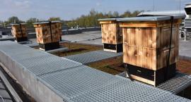 Na dachu ciechanowskiego ratusza powstała pasieka