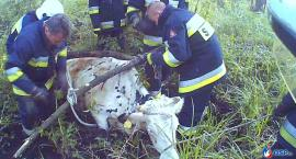 Krowa tonęła w bagnie pod Glinojeckiem. Z pomocą ruszyli strażacy [zdjęcia]