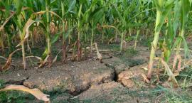 Kolejni wójtowie z pow. ciechanowskiego ogłaszają stan zagrożenia suszą