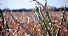 Zagrożenie suszą również w gminie Glinojeck. Rolnicy mogą składać wnioski