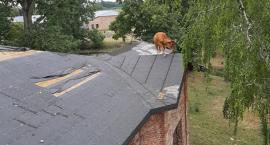 Gdy świ... krowy(!) zaczną latać, czyli OSP Sochocin i krowa na dachu