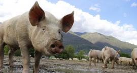 Likwidacja świń zakażonych ASF w Gumowie - stado liczy ponad 1300 zwierząt
