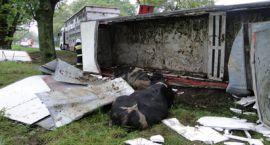 Wypadek Gołymin ! Przewrócona ciężarówka z bydłem ! Uwaga drastyczne zdjęcia.
