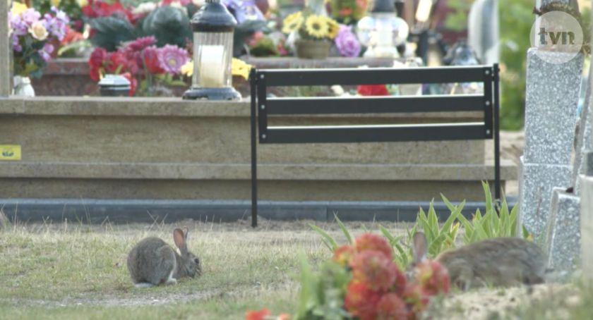 Ciekawostki, Dzień Dobry zajął królikami toruńskim cmentarzu [WIDEO] - zdjęcie, fotografia