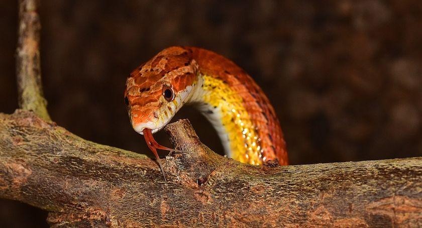 Straż Miejska, Torunianka znalazła swoim mieszkaniu węża Ameryki Północnej - zdjęcie, fotografia