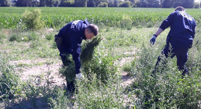 Sprawy kryminalne, Kryminalni odnaleźli Toruniem ponad tysięcy konopi indyjskich! [FOTO] - zdjęcie, fotografia