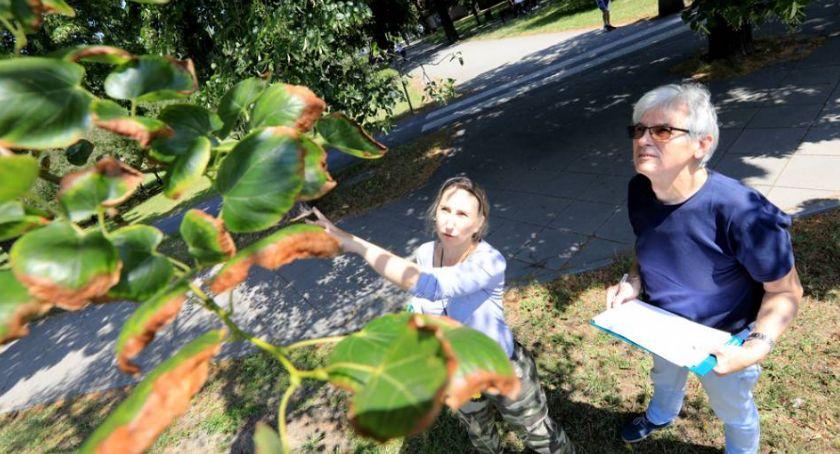 Inwestycje, Znamy wyniki ekspertyzy dendrologów Wiele drzew centrum miasta zostanie uratowanych! - zdjęcie, fotografia