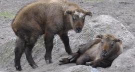 Alfa i Alert - są imiona dla takinów. Nowi ulubieńcy zoo?