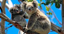 Przytulić koalę, czyli wakacje w Australii