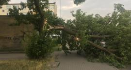 Silny wiatr przewraca drzewa w wielu miejscach w Toruniu [FOTO]