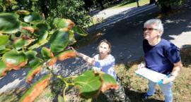 Znamy wyniki ekspertyzy dendrologów. Wiele drzew w centrum miasta zostanie uratowanych!
