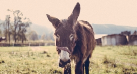 Historia toruńskiego karnego osła