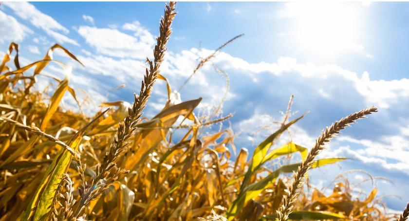 Uprawa, Zrekompensują skutki suszy - zdjęcie, fotografia