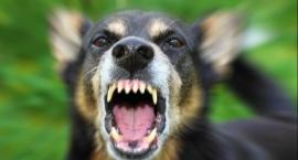 Burmistrz Mariusz Piątkowski zaatakowany przez sforę psów