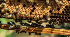 Gmina Golub-Dobrzyń pomoże pszczołom