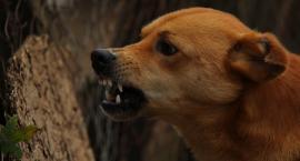 Psy sieją spustoszenie w Napolu