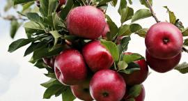 Jabłka za grosze