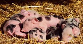 Świnie coraz mniej opłacalne