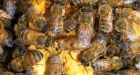 Susza pszczołom  nie zaszkodziła