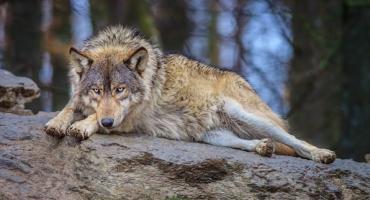 Wołosaty i wilcza akcja