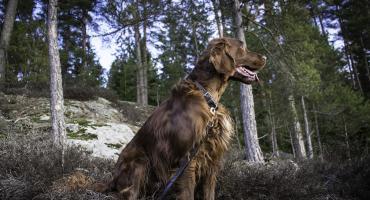 Setter irlandzki- pies myśliwski