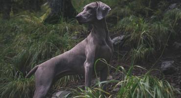 Terminy testów hodowlanych dla psów myśliwskich 2019