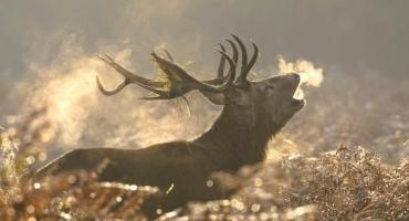 Mowa jeleni w czasie rykowiska i na co dzień