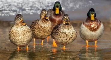 Uwaga: wysoce zjadliwa grypa atakuje polskie ptaki