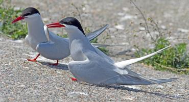 Samice rybitw znalazły ciekawy sposób na zdobycie pożywienia. Oszukują samce!