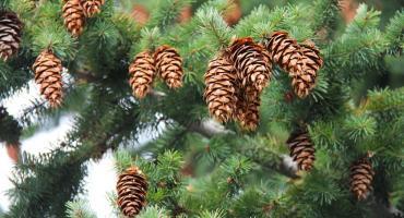 Potrzebny pilnie tysiąc szyszek! Akcent Zoo szykuje świąteczny wystrój!