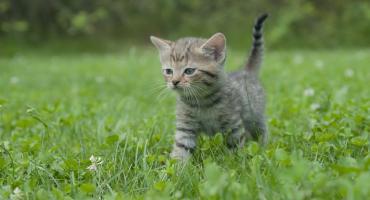 Koty to mordercy. Są w stanie rocznie pozbawić życia miliony stworzeń