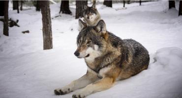 Wilki się nie rozmnażają. Jest ich u nas coraz mniej
