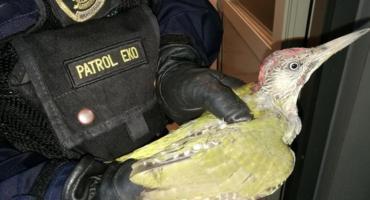 Ranny dzięcioł na Gocławiu uratowany przez EKO-patrol