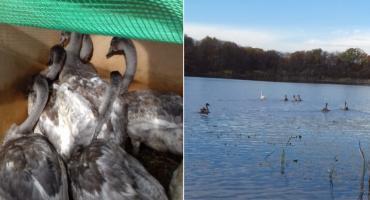 Nasz temat: Bestialsko pobita łabędzica wróciła na wodę. I to z całą rodziną!