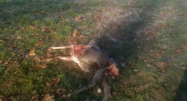 Wilki w Gałowie. Rozszarpane zwierzę na polu, niedaleko zabudowań