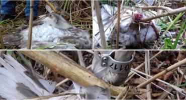 Młody łabędź z odgryzioną szyją znaleziony w Czarnoborze
