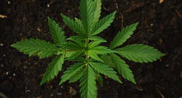 Zatrzymani z marihuaną i amfetaminą. Powód? Nerwowe zachowanie