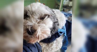 Otruty podczas spaceru pies nadal walczy o życie