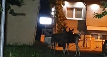 Spacerujesz wieczorem? Uważaj na łosie w parku!