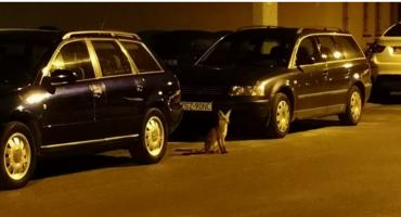 Na Koszalińskiej lisy miłe jak psy. Czy są oswojone? Nic bardziej mylnego